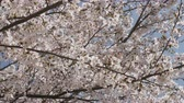 bitki örtüsü : Japanese cherry blossom in the wind.