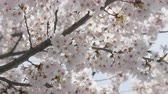 cherry blossom branch : Japanese sakura flower close up. Stock Footage