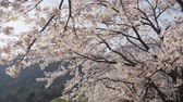 cherry blossom branch : Japanese sakura in the wind