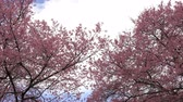 olympic park : Cherry blosssom tree on blue sky and clouds,