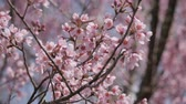 сакура : Pink cherry flowers blossoming at park