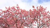 teljes virágzás : Springtime with cherry blossom tree on blue sky and clouds.