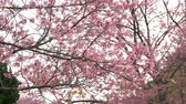 марш : Pink flowers blossoms on the branches. Стоковые видеозаписи
