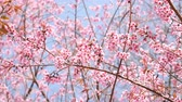 april : Sakura cherry blossom on blue sky.