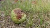 уродливый : Rotten Guava fruit on ground, damage from the garden Стоковые видеозаписи