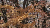 сентябрь : Orange maple tree blowing in the wind in autumn season. Стоковые видеозаписи