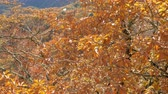 сентябрь : Yellow leaves on tree blowing in the wind, autumn season.