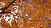 сентябрь : Autumn leaves swinging on tree in autumn.