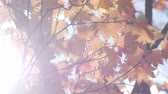 сентябрь : beautiful orange maple leaves tree blowing in the wind with sunlight in autumn.