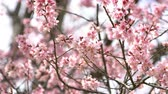 teljes virágzás : Beautiful pink cherry blossom with sunlight.