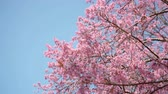 de amor : Pink cherry blossom on blue sky background with copy space. Vídeos
