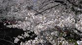 de amor : Spring season or hanami with cherry blossom in full bloom. Vídeos
