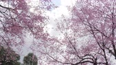 de amor : Low Angle of cherry blossom tree at park in spring.