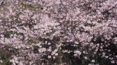 de amor : Cherry blossom trees in spring.