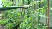 pastime : Slow Motion Sequence Of Watering Tomatoes In Greenhouse