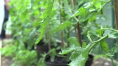 rostlina : Slow Motion Sequence Of Water Dripping From Tomato Plant Dostupné videozáznamy