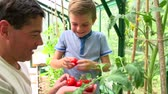 udržitelného : Father And Son Harvesting Home Grown Tomatoes In Greenhouse