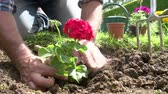 движение : Slow Motion Sequence Of Man Planting Flower In Garden Bed