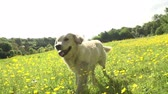 savec : Slow Motion Sequence Of Golden Retriever Running In Field