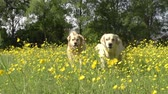 Уайлдфлауэр : Slow Motion Sequence Of Two Golden Retrievers In Field