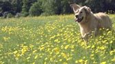 rychlost : Slow Motion Sequence Of Golden Retriever Running In Field