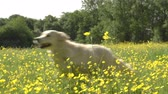 run : Slow Motion Sequence Of Two Golden Retrievers In Field