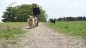tendo : Slow Motion Shot Of Man Exercising Dogs In Countryside