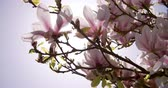 красочный : Sunlight Shining Through Flowers On Magnolia Tree