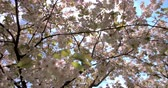 деталь : Backlit spring cherry blossom in a London park