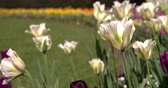 tulip : Close up of open tulips in a London park in spring Stock Footage