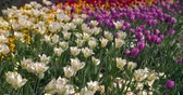 florescente : Colourful tulips in a London park in spring