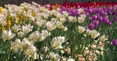 flora : Colourful tulips in a London park in spring