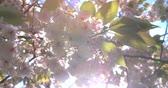 деталь : Backlit spring cherry blossom in a London park, from below