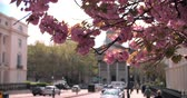 reino unido : Spring cherry blossom in city street, Marylebone, London Stock Footage