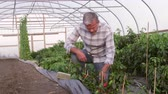 udržitelného : Farmer Checks Chilli Plants In Greenhouse Shot On RED Camera