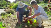 grown : Senior Couple Harvesting Beetroot On Community Allotment Stock Footage
