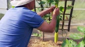 crescido : Senior Man Checking Cucumbers Growing In Allotment Greenhouse