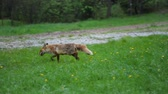 strach : Wild red fox fed by a person Wideo