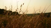 Grass in the glory of the sunset waving in the wind. Banlung province, Cambodia. Dostupné videozáznamy