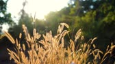 объектив : Grass in the glory of the sunset waving in the wind. Banlung province, Cambodia. Стоковые видеозаписи