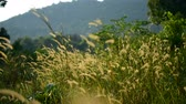 beleza na natureza : Grass on the meadow in the glory of the afternoon sun waving in the wind. Koh Rong Samloem island, Cambodia. Stock Footage