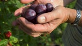 ameixa : Womans hands filed with the italian mature Hungarian plum, in the glare of the afternoon sun.