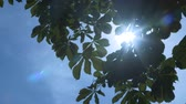 clorofila : Sun shines through green leaves