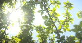 back lit : leaves against the morning sun Stock Footage