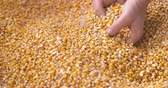 kernels : Corn grains falling down in corn sack form farmers hand. Stock Footage