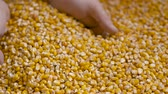 kernels : Corn grains in farmer hands. Stock Footage
