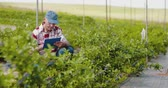 agronomia : Confident male farm researcher examining and tasting blueberry on field