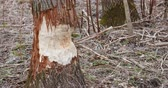 идиллический : Half Cut Tree Trunk In Forest Стоковые видеозаписи