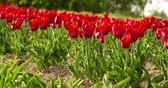 アムステルダム : tulips on agruiculture field holland