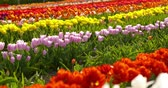 moinho : tulips on agruiculture field holland